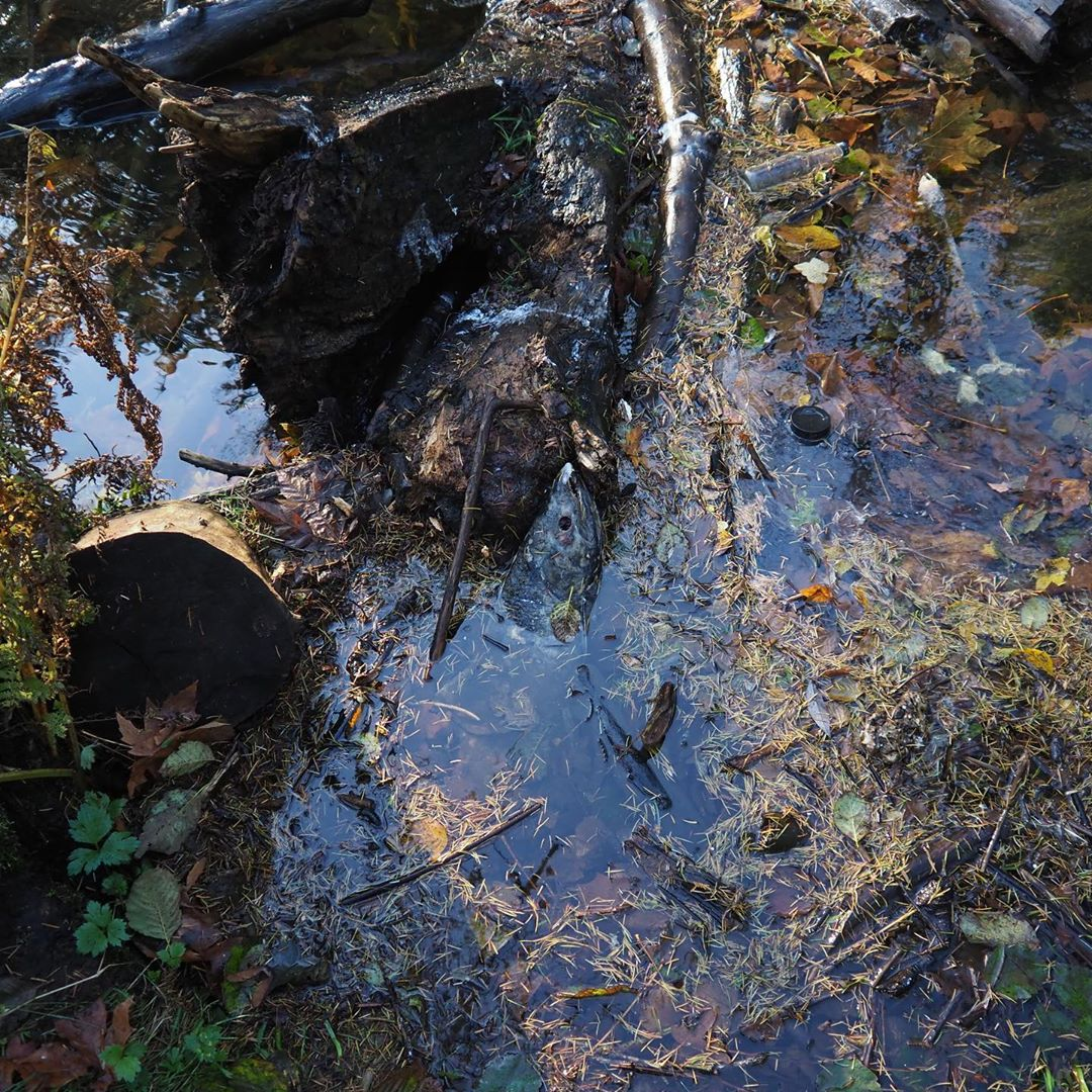 Twigs and leaves in the water and the head of a salmon peeping out