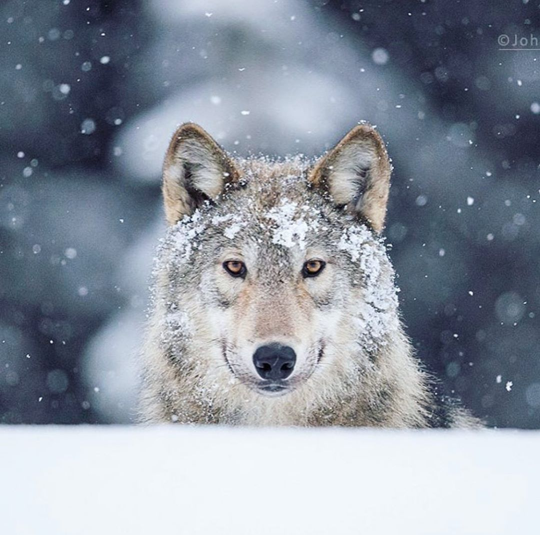 A grey white wolf looks straight at the camera on a snowy landscape with snow falling