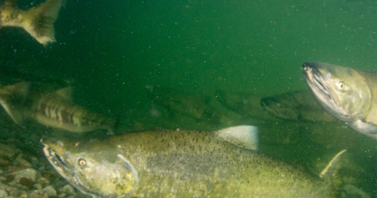 Half a dozen Chinook salmon swimming in the murky underground green of the river with round yellow eyes and teeth visible.