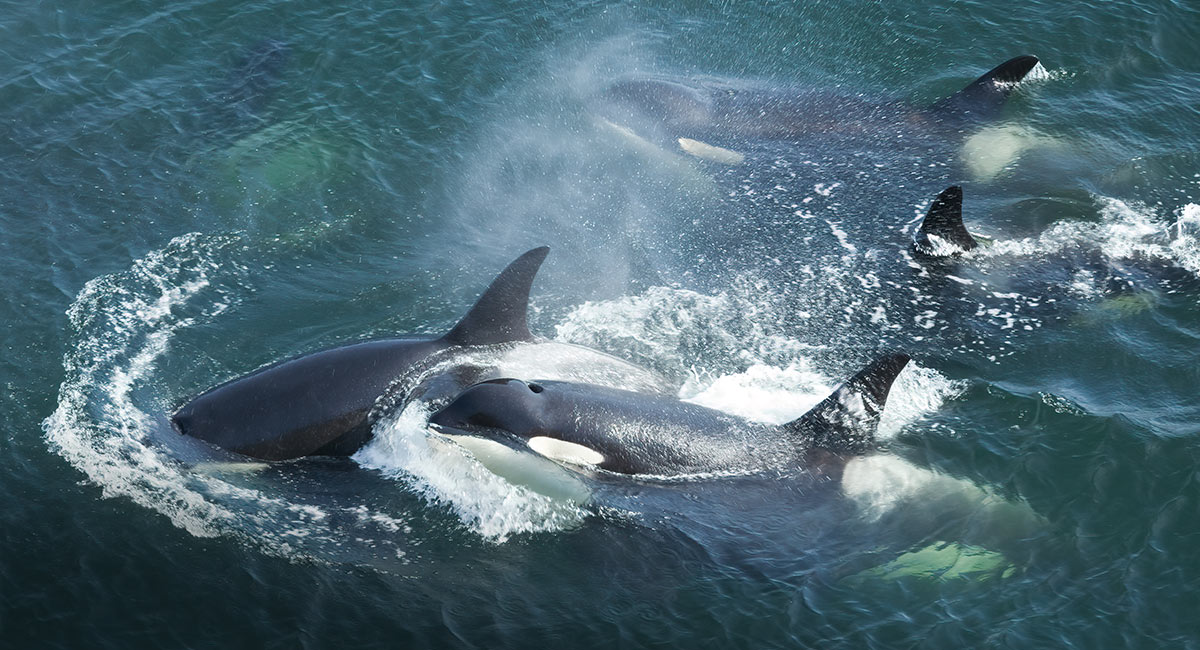 Several killer whales and one juvenile orca whale swimming very close to its parent throw up spray and foam in the blue green ocean.