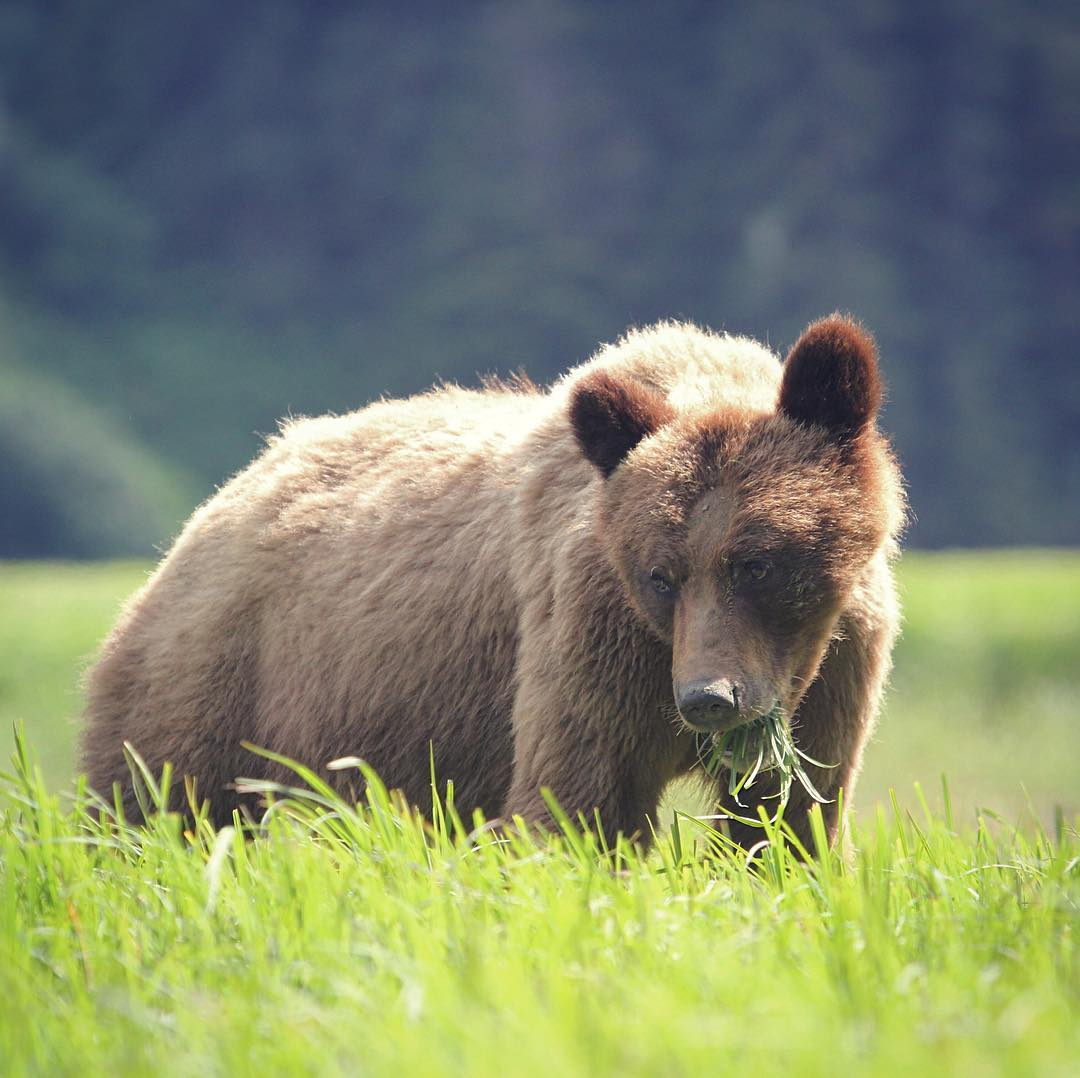 A beautiful grizzly bear on green grass with a blurred forest in the background looks down at the grass while lit by sunlight
