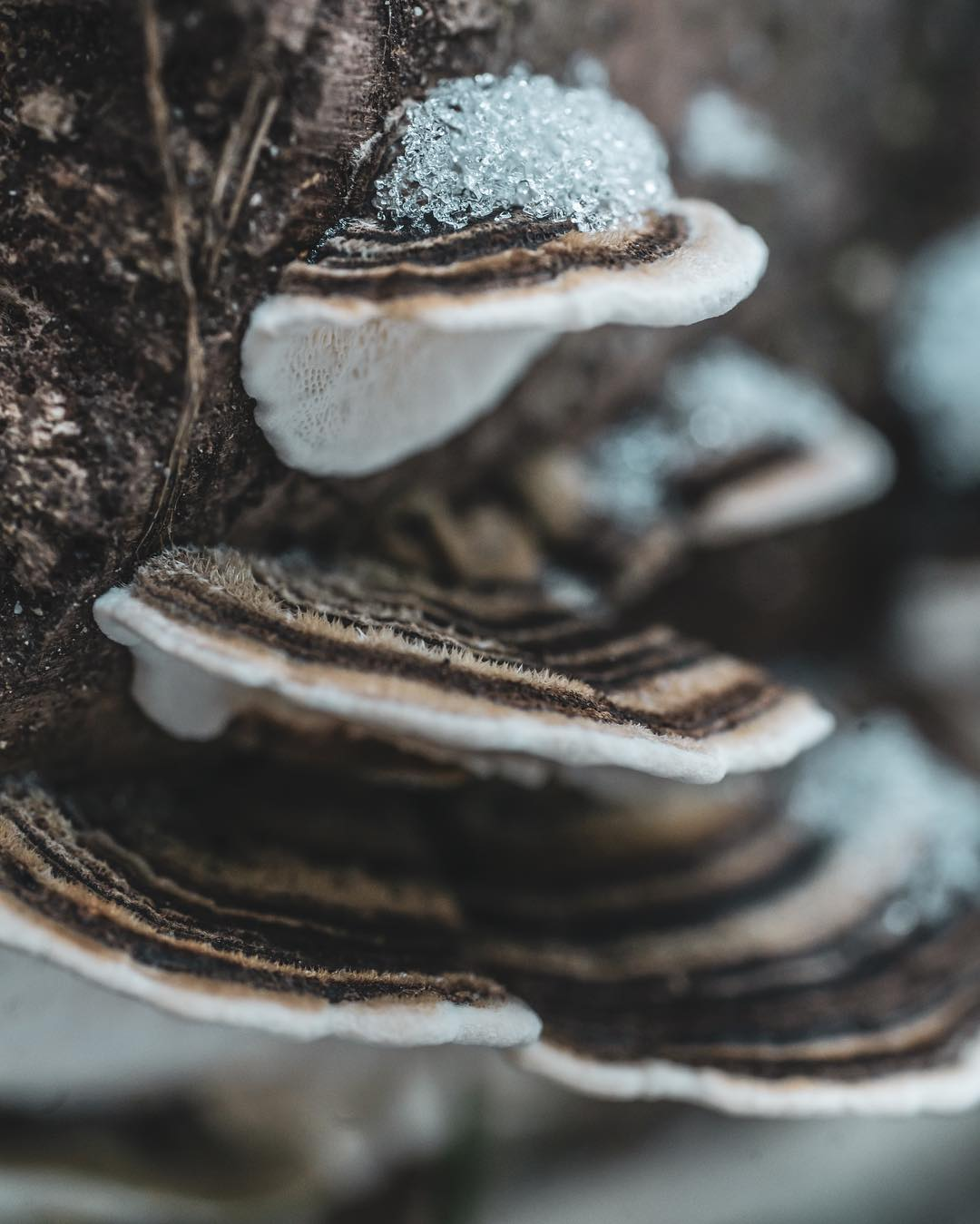 Close up turkey tail species of mushrooms covered on the edges with snow
