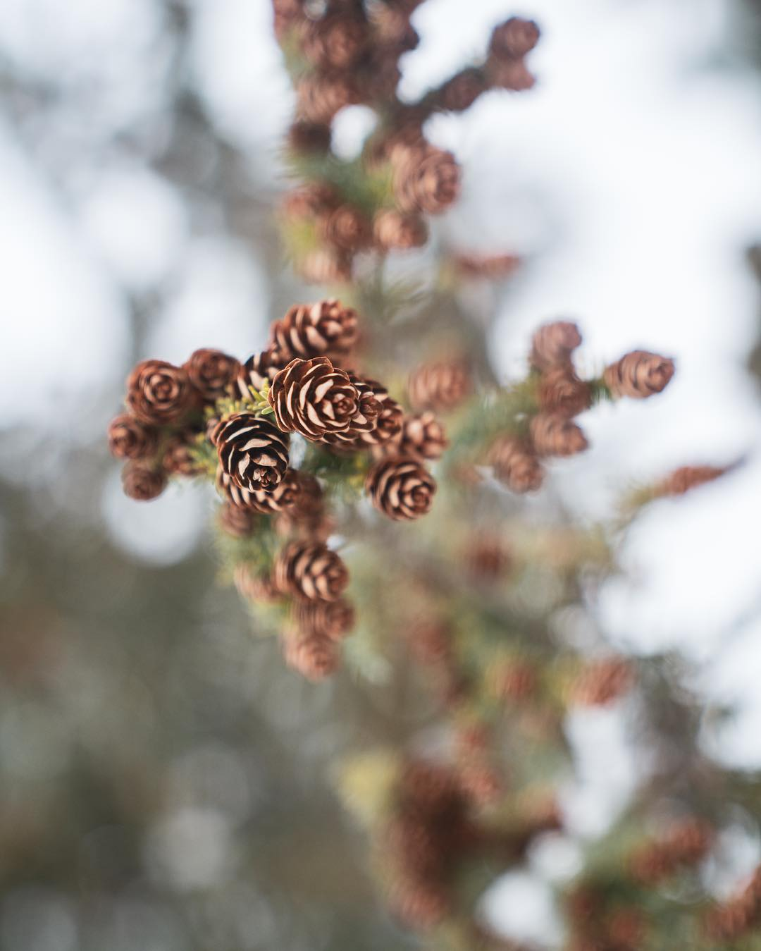 A prig of spruce cones framed against a blurred white and green background