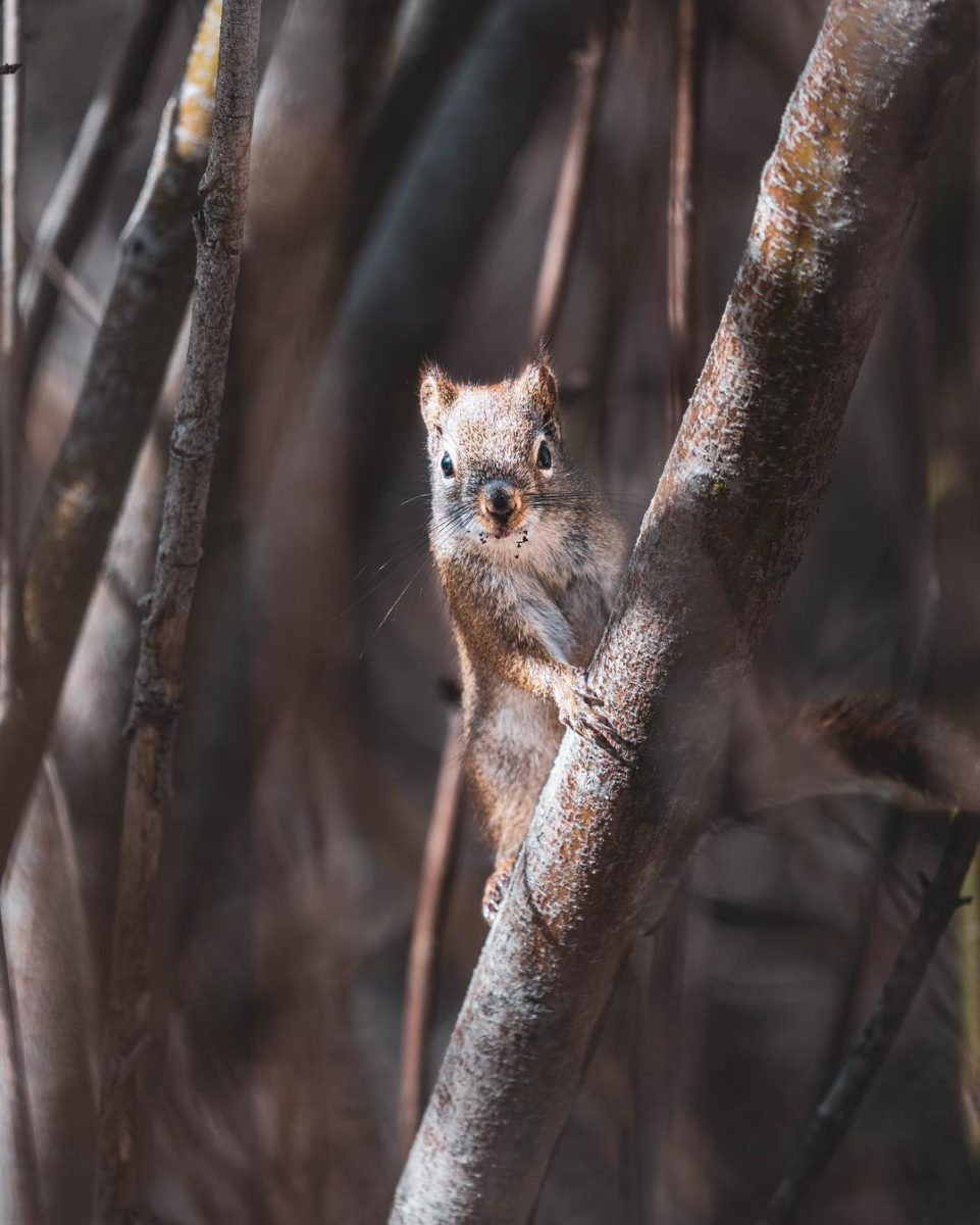 Small red and brown squirrel clinging to a branch with its paws and looking directly at the camera