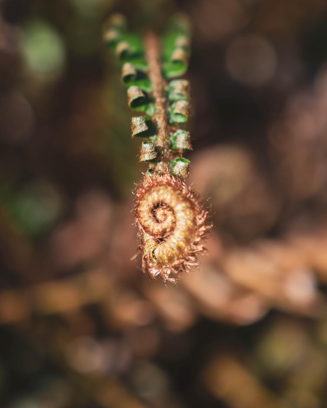 A spiral flower called the sword fern hangs at the end of its green stalk