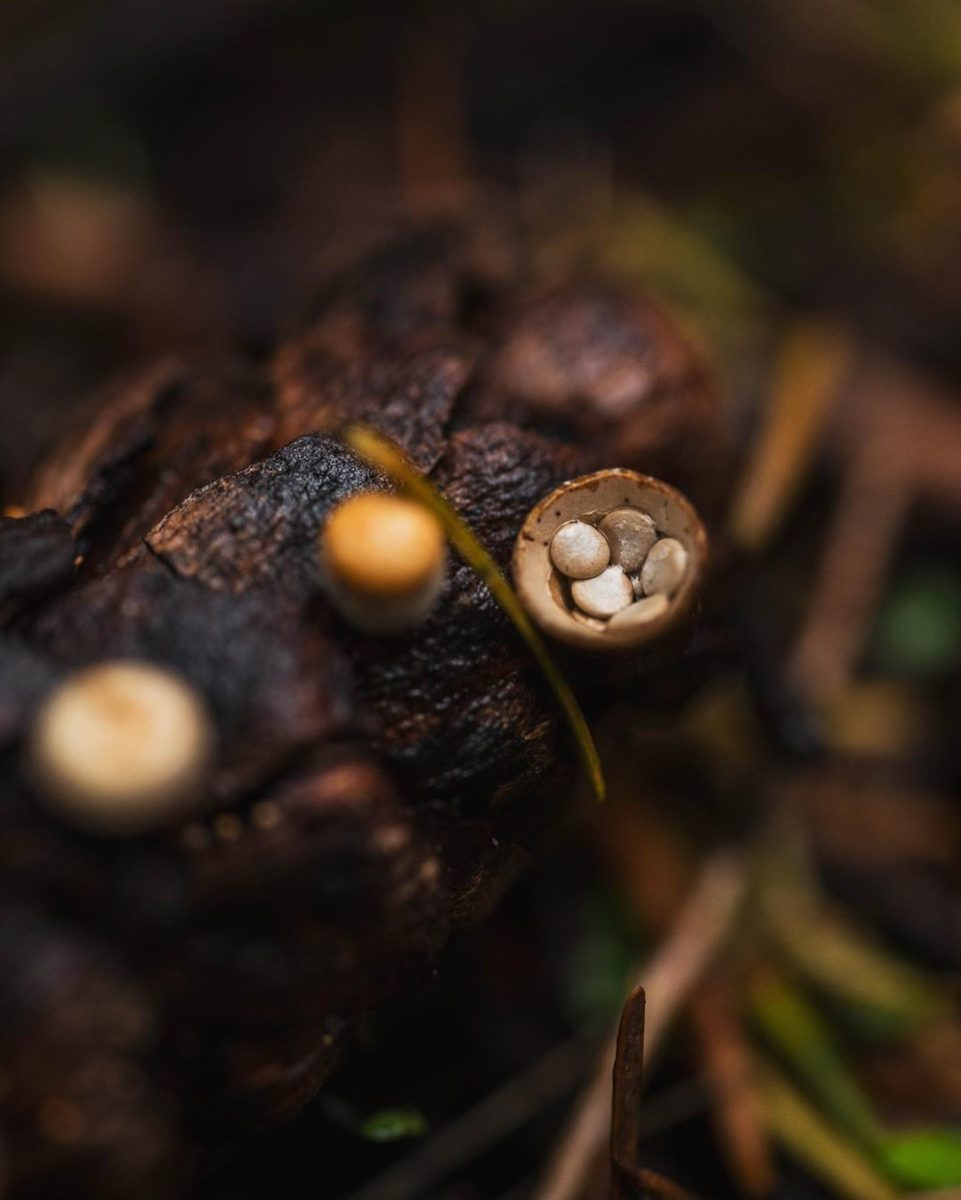 Extreme closeup of birds nest fungi. seen are small round mushroom caps nestled together inside a cup on a fir cone