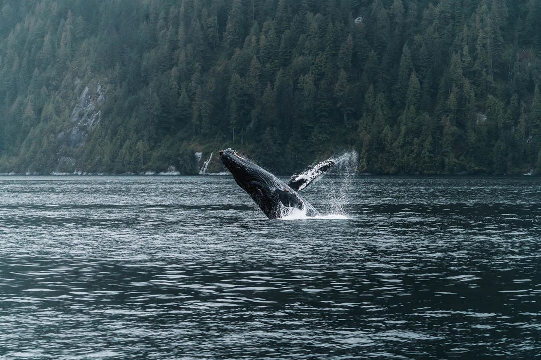 Humpback whale breaching out of the water, with an island covered with trees as backdrop in the blue green grey ocean