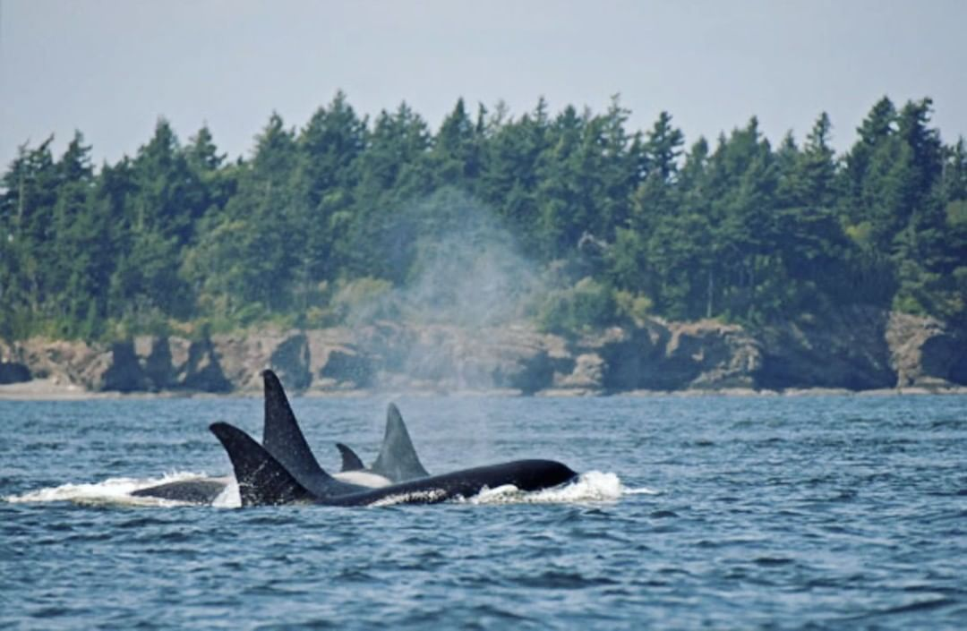 Orcas in danger of extinction, but recovery is possible