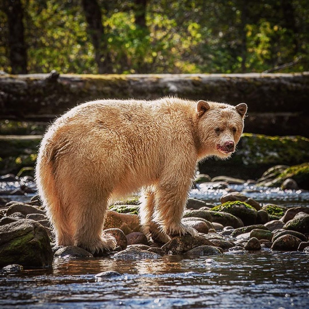 A sandy brown grizzly bear standing on water and rocks turns its head to look over its shoulder at the camera framed by a horizontal fallen log and a forest background