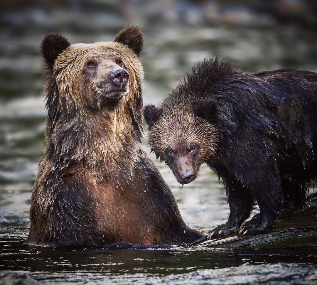 Two bears in water with wet hair face the camera