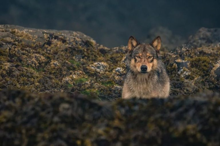 Buy a limited edition print from the Coastal Carnivores photography exhibit – help fund Kitlope tenure purchase