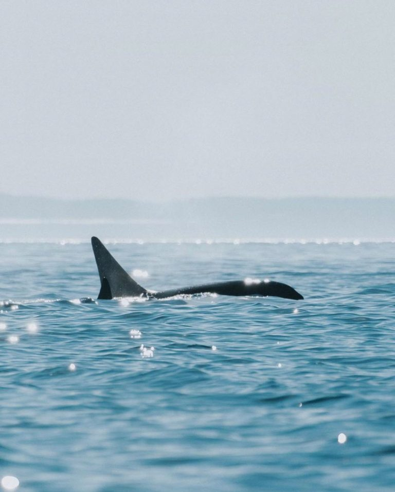 The Supreme Court of Canada announced today that it will not hear a set of legal challenges to help the Southern Resident killer whales