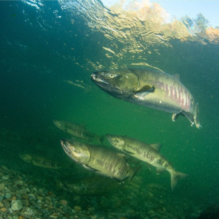 Report just released: Toward a Vision for Salmon Habitat in the Lower Fraser River