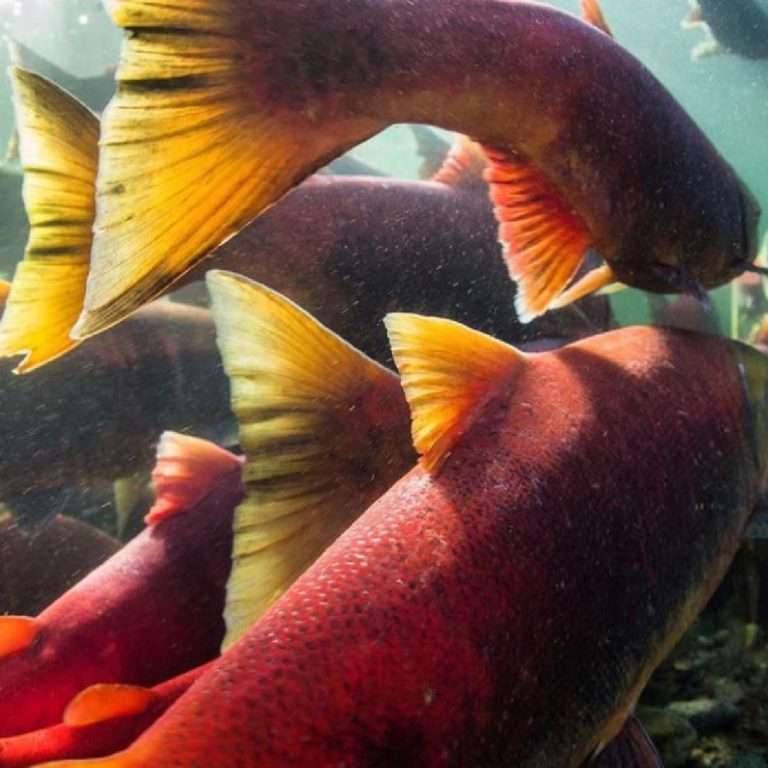Bold recommendations to help recover salmon habitat