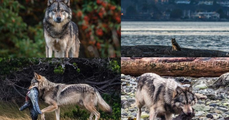 Staqeya: the lone wolf at the edge of its ecological niche