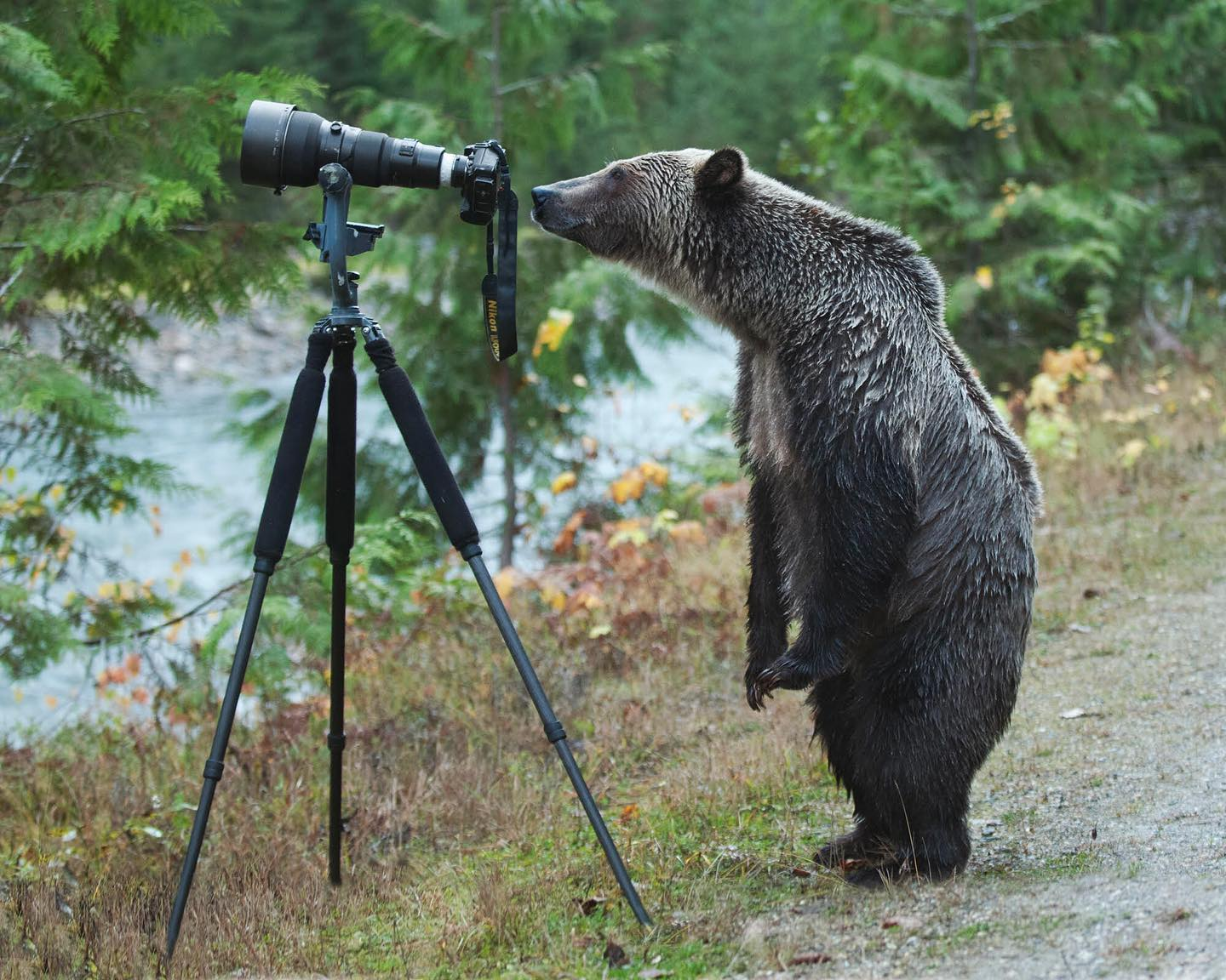 A grizzly bear stands on their two hind feet to look closely at a camera and tripod bedside a river in the Kootenays.