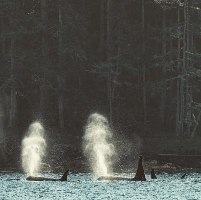 A decade of fighting for Southern Resident killer whales