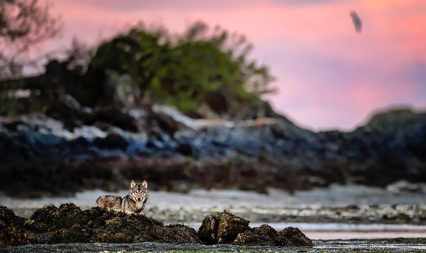 Lone wolf Takaya, a medium sized tan coloured wolf peeks out head and back from behind a rocky outcrop. Behind her, is silver grey ocean waves coming into shore and another taller rocky outcrop and a partially silhouetted tree with a pink and purple sunset visible in the sky.