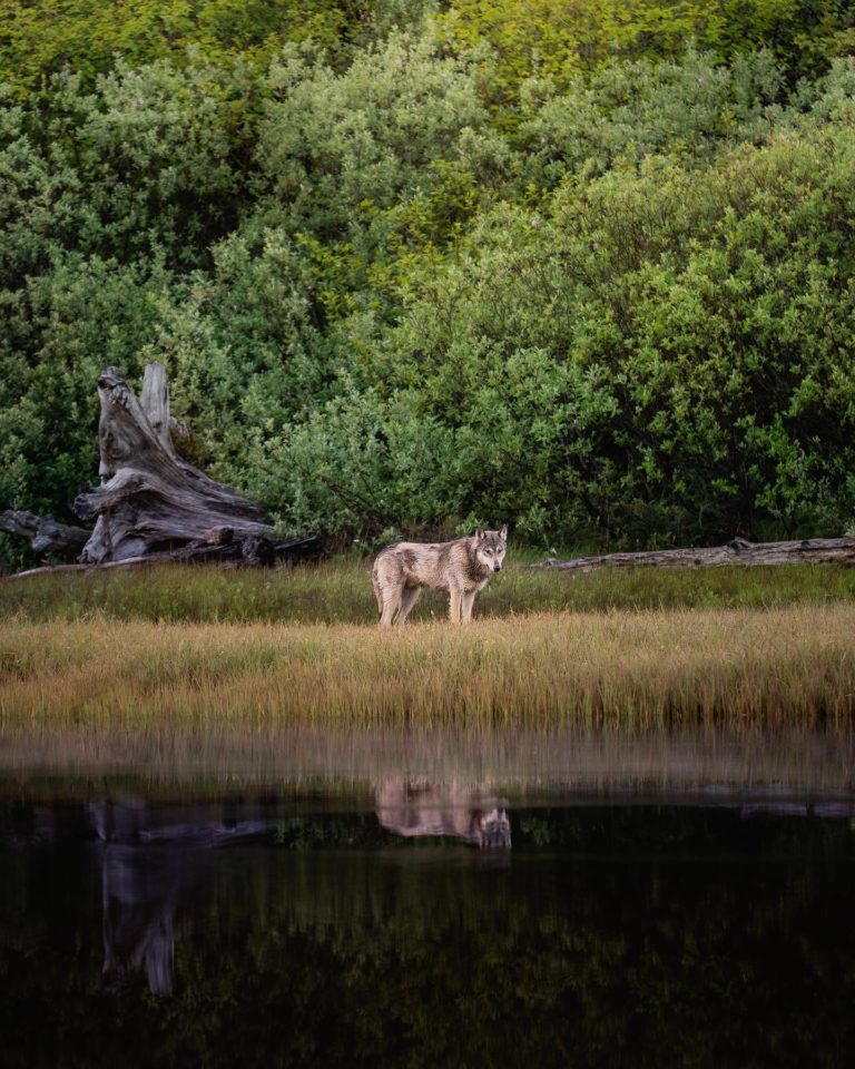 Stop recreational killing of wolves