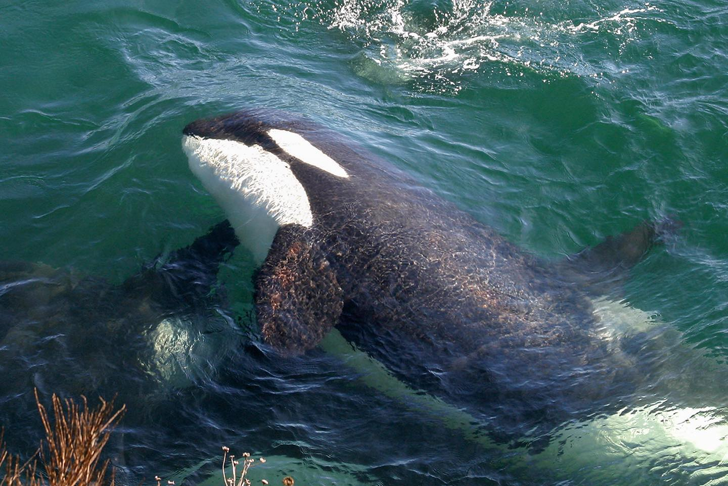 Close up of orca whale, black and white head and body and front fins visible in clear green water