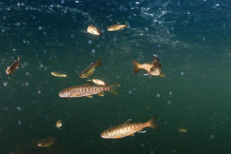 Raincoast's online education program upcoming on urban salmon