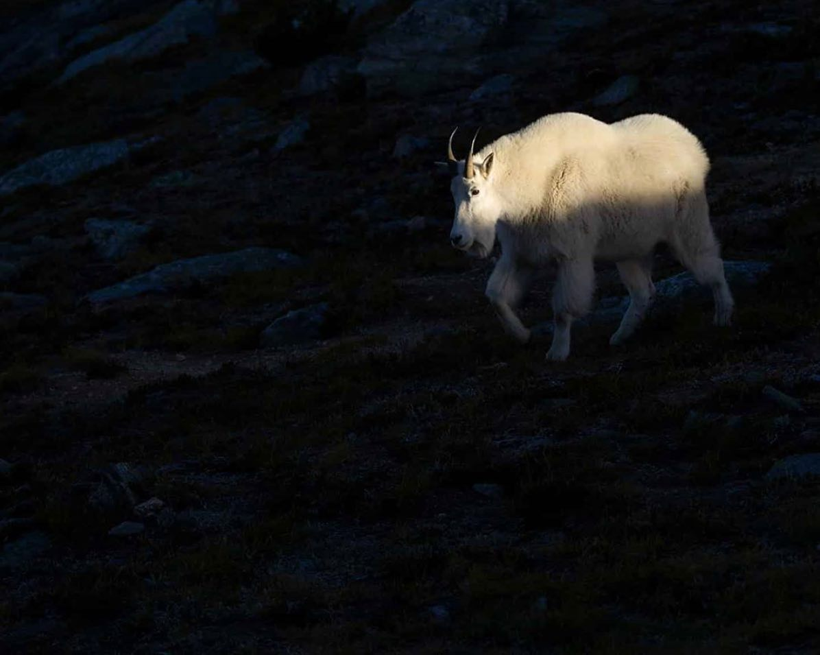Big white mountain goat with black horns emerges from black shadow.
