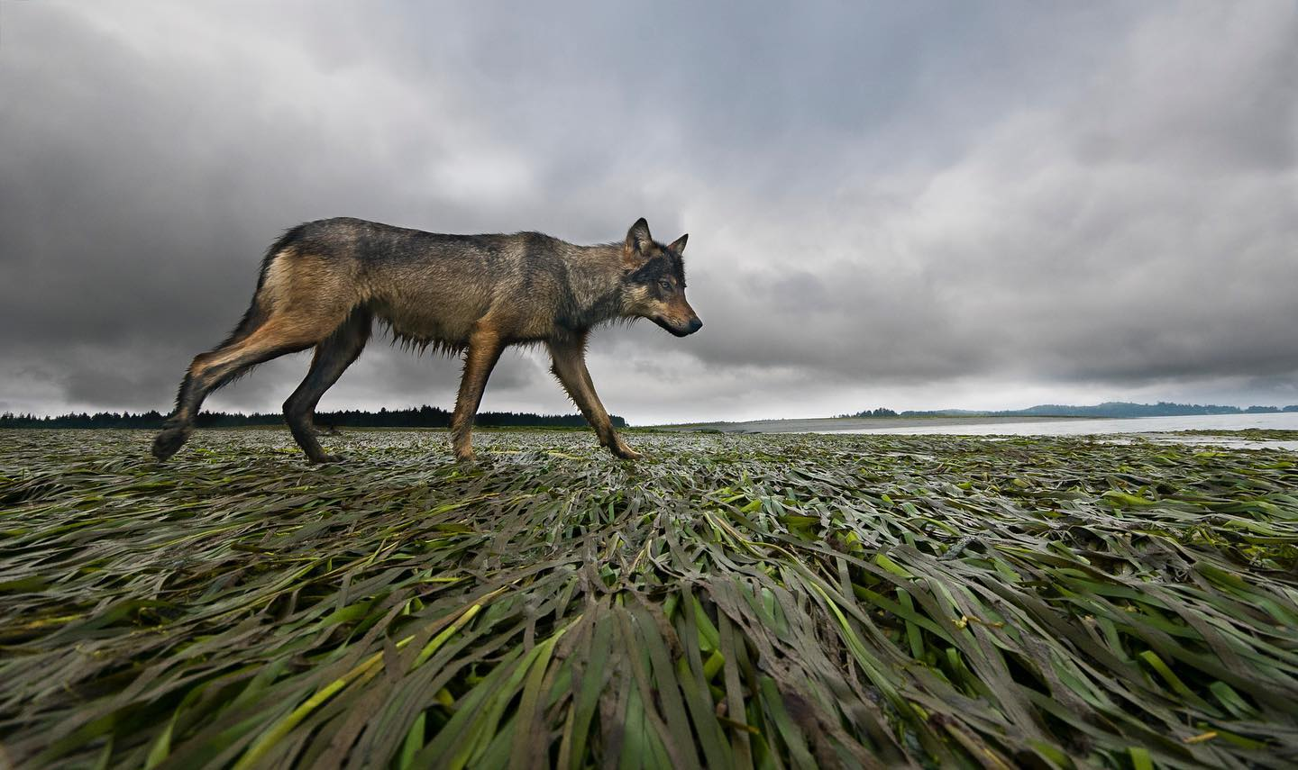 Wolf thin and brown walks across green rushes. Stormy grey sky looms in the background.