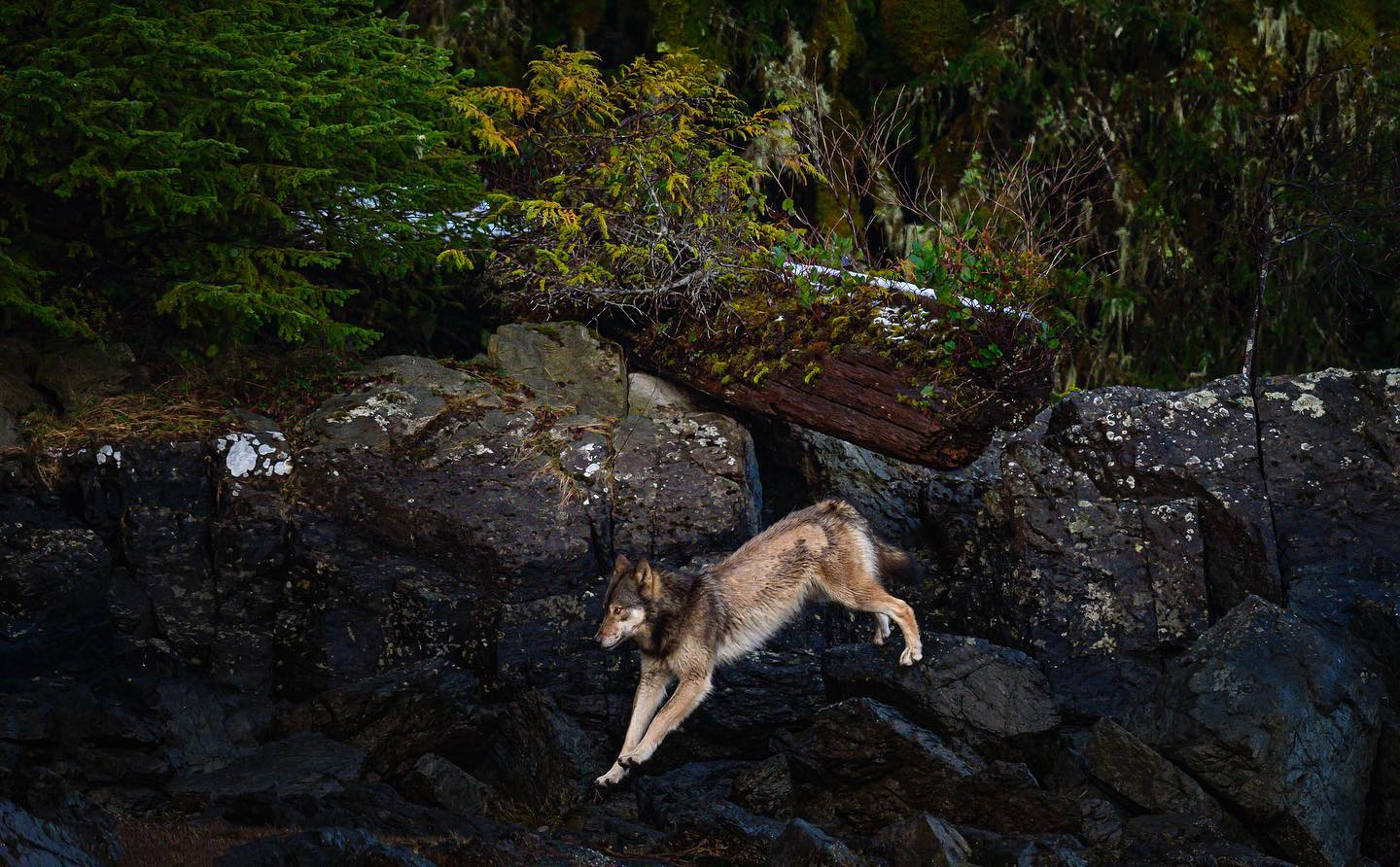 Brown wolf caught in action running down rocks