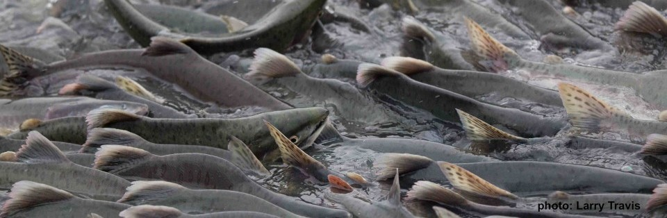Pink salmon together in a stream.