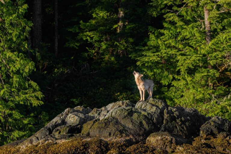 Take action now to stop killing BC wolves