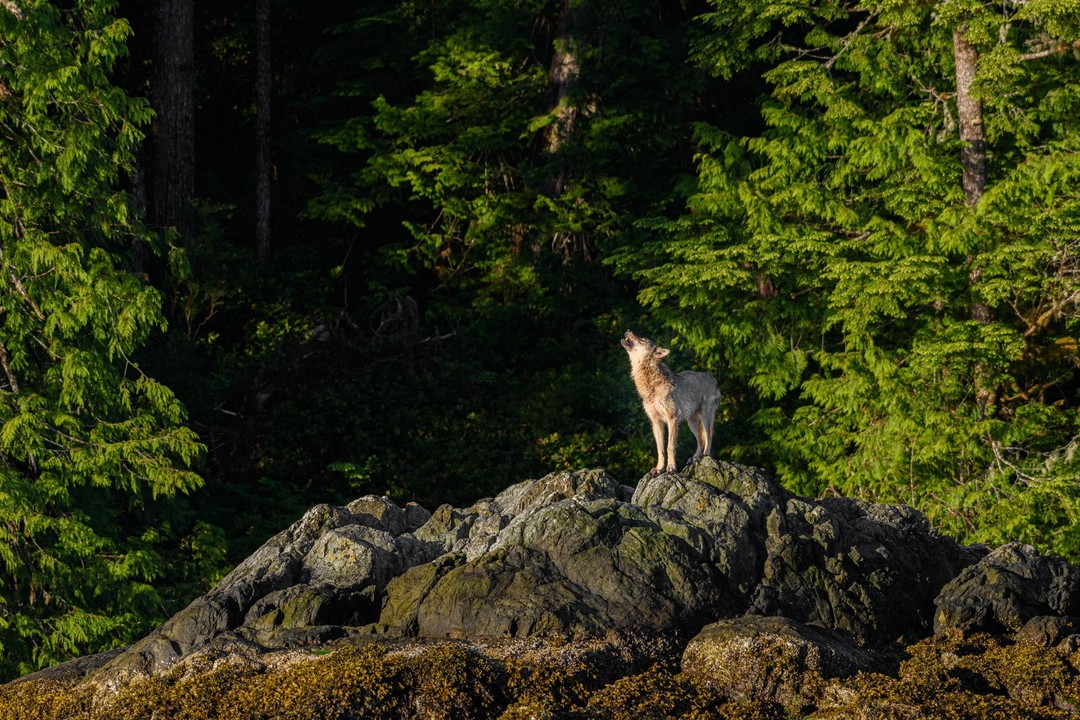 Lone brown wolf seen standing on rocks with its head lifted up presumably howling, in front of a dark forest background.