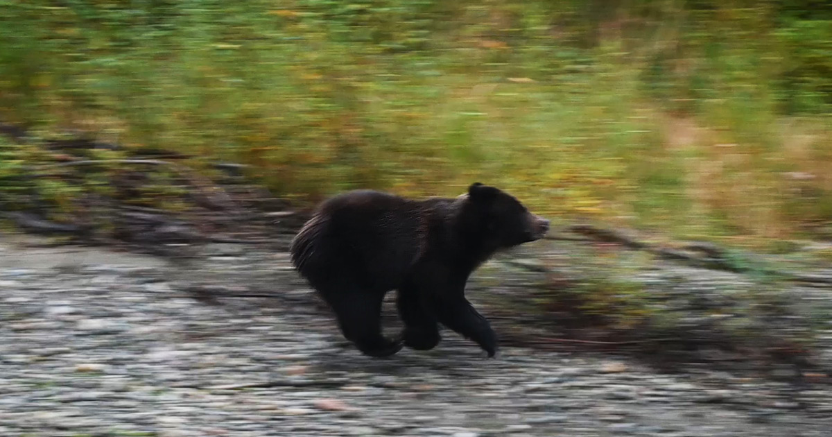 A subadult grizzly flees downstream after encountering a dominant adult.