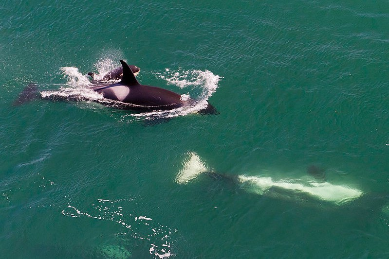 Orca's white belly visible in clear green ocean water, while nearby another orca shows us its black back and fins partially out of the water