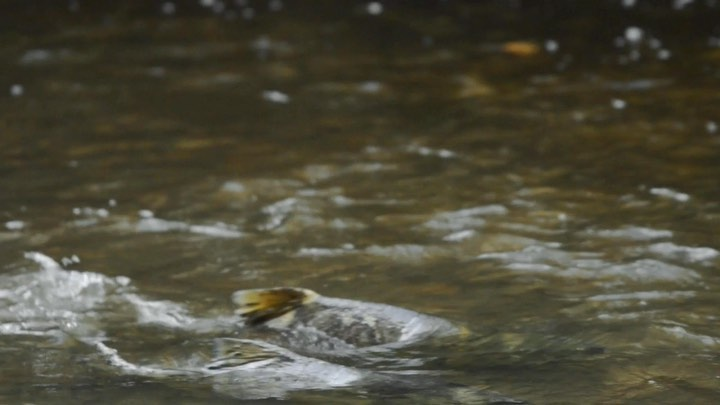 Two salmon visible side by side swimming up a dark yellow green stream