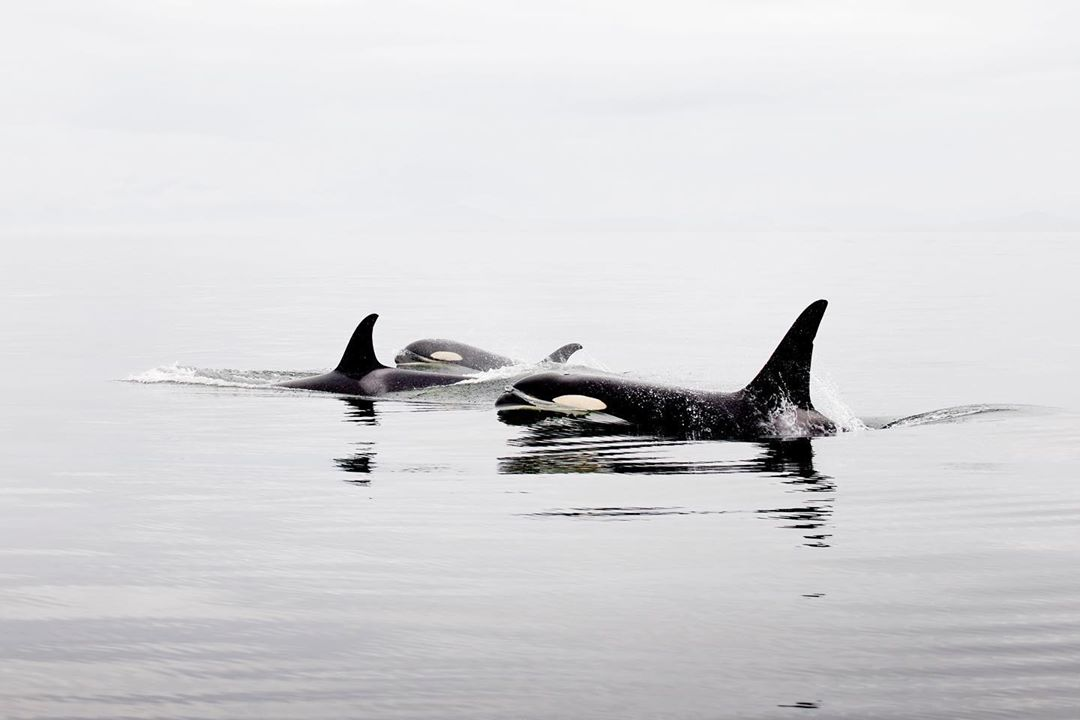 A beautiful photograph that seems monochromatic. Two orca whales, Southern Resident, are seen fin and body above still grey ocean waters under a grey sky that bleeds horizon less into the ocean.