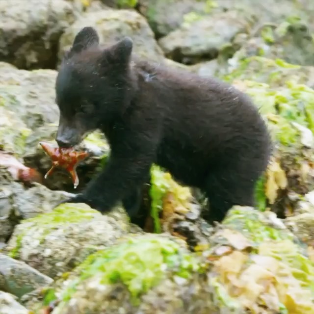 An adorable fuzzy haired black bear cub is photographed clambering around on moss covered rocks