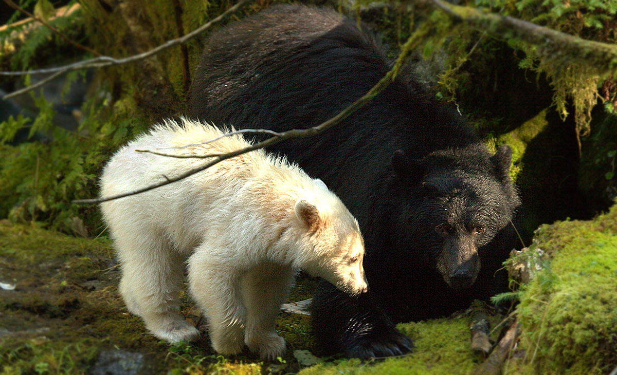 Young Spirit bear stands beside a mother black bear.