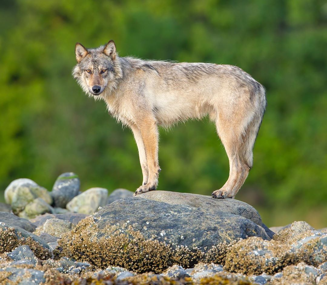 Beautiful light brown wolf standing on a slab of rock in front of trees turns its head to look at camera