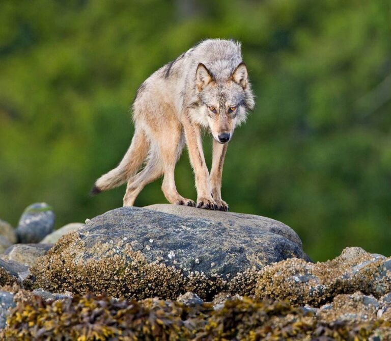 Calling all wolf lovers