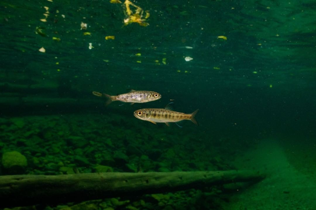 Two small Chinook salmon juveniles are seen in deep dark green waters of the Fraser river