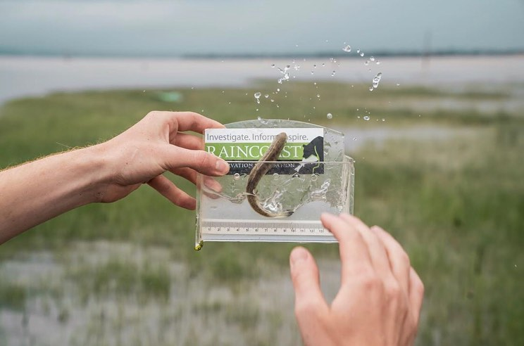 Two hands of a white person holds up a plastic transparent rectangular box. An olive green juvenile salmon is seen inside it, in front of a blurred background of Fraser river estuary.