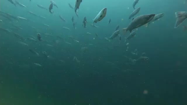 Underwater shades of blue ranging to black with salmon fish, bodies spreading out hurtling towards camera