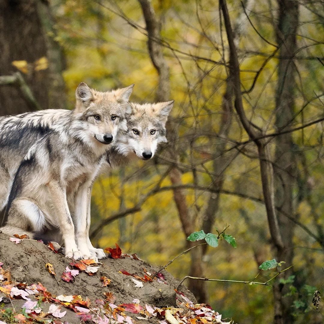 Two wolves in light grey brown stand side by side close to each other perched on a rock in a forest