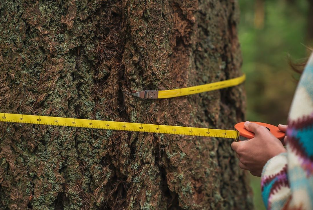 A narrow yellow tape measure is visible drawn across the girth of a tree