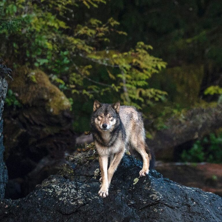 Register for tomorrow's Wolf School episode