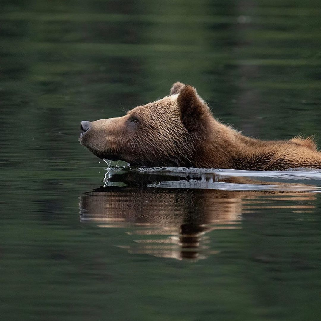 Bear swimming, with its head visible above deep green water