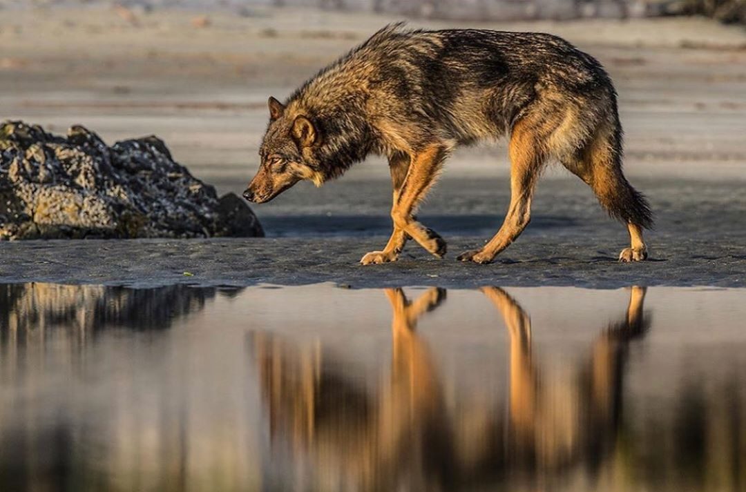 A large brown wolf walks by still water, with its legs and body blurrily reflected