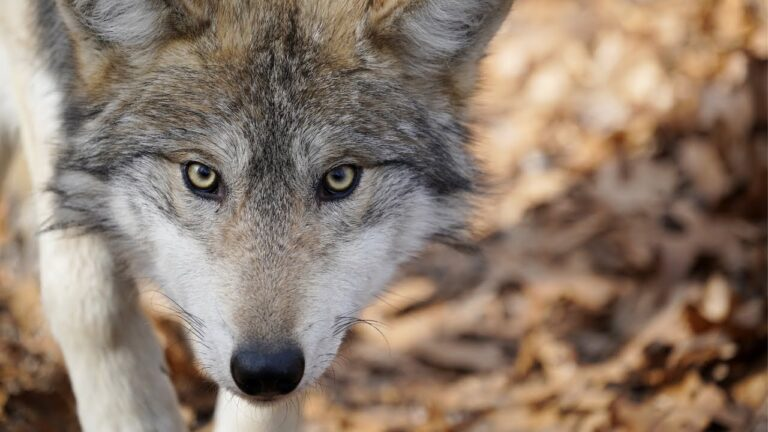 Wolf School 2: Meet some wolves