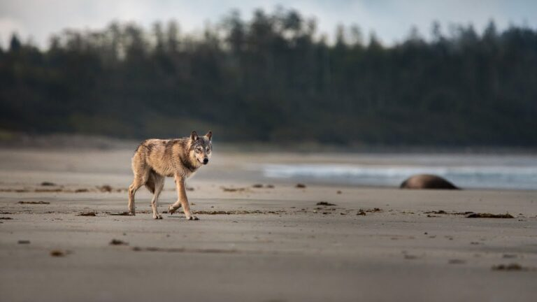 Wolf School 3: What can science tell us about wolves of Coastal British Columbia and beyond