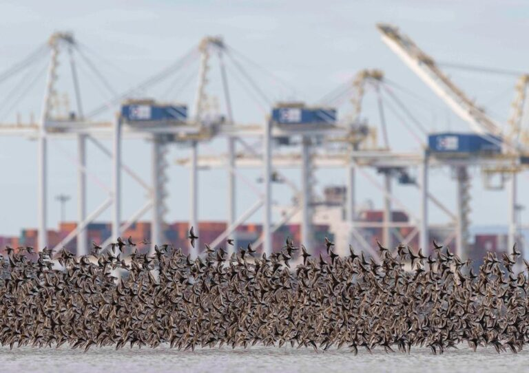 Take action to stop Terminal 2 and protect Fraser estuary habitat for International Bird Week